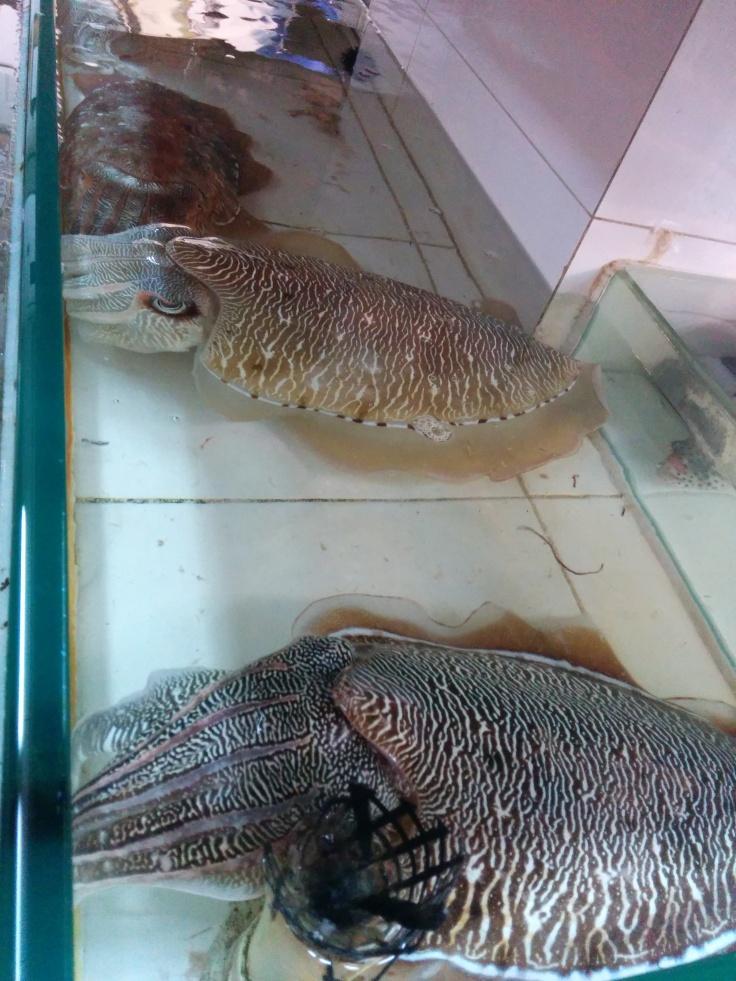 Big ol cuttlefish
